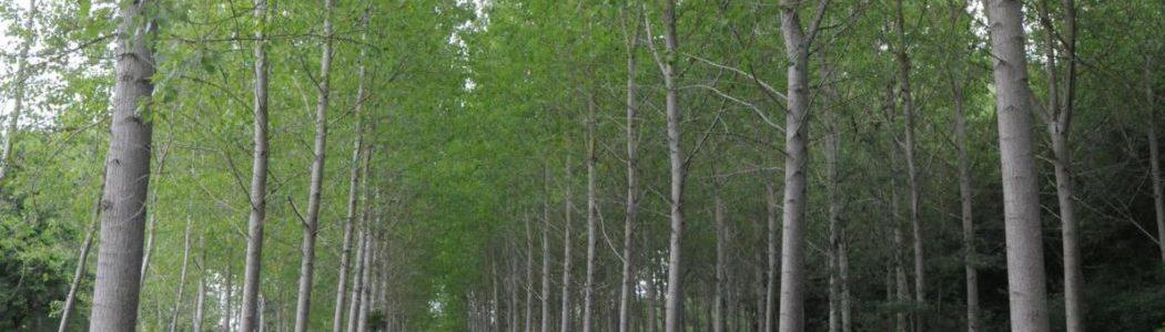 Bois de peupliers à donner par la commune déléguée de MAILLET